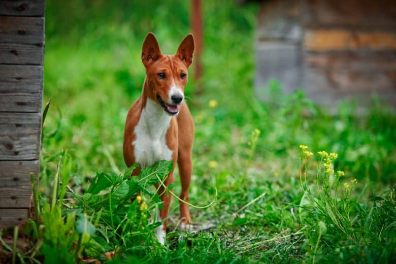 A Basenji dog standing magnificently on the grass