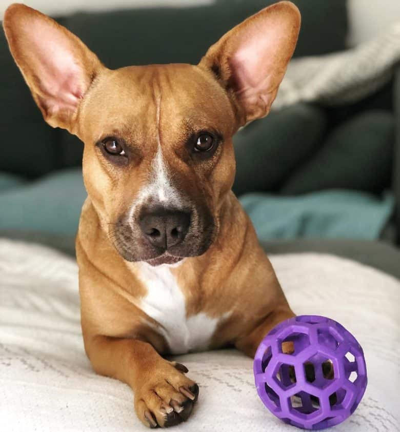 A Coxer with big ears with a purple toy laying on a bed