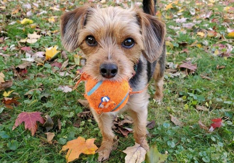 Beagle and Yorkie mix dog chewing tennis ball