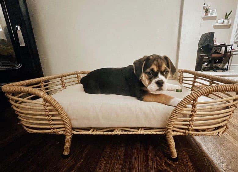 Beagle Bulldog mix dog lying on his bed