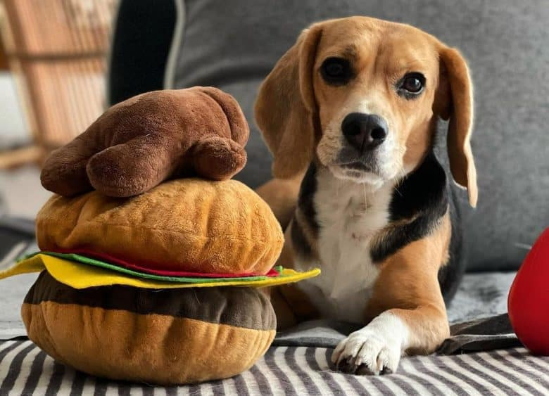 A Beagle dog lying on the bed with a burger toy