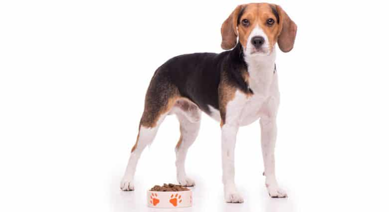 Beagle dog standing beside his food