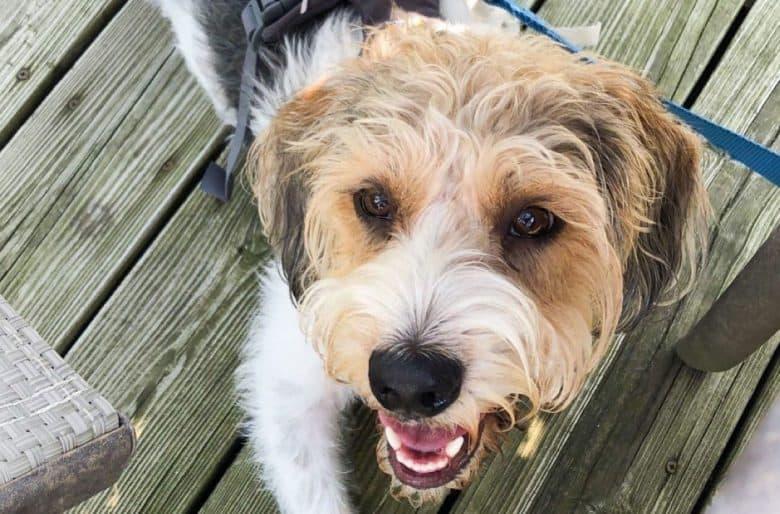 Beagle Poodle mix dog portrait