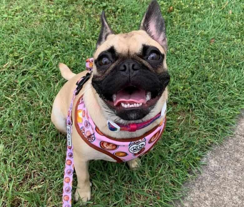 An excited Frug looking up and wearing a pink harness