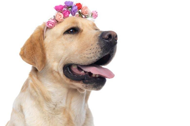 A smiling big Labrador with a flower band