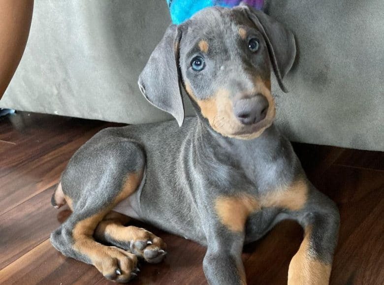 A Blue Dobie puppy with a beautiful blue eyes laying on a wooden floor