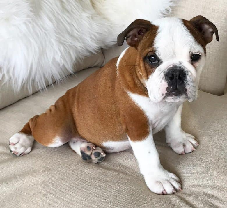 A brown and white Bulldog sitting on a couch