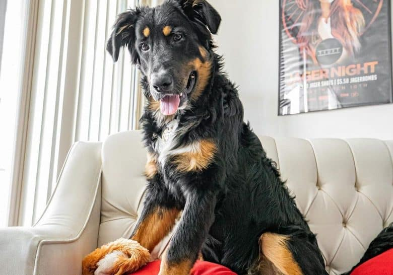 Bernese Mountain Dog German Shepherd mix dog sitting on a sofa