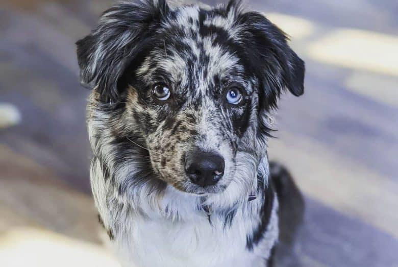 Bi-colored blue merle Aussie dog portrait