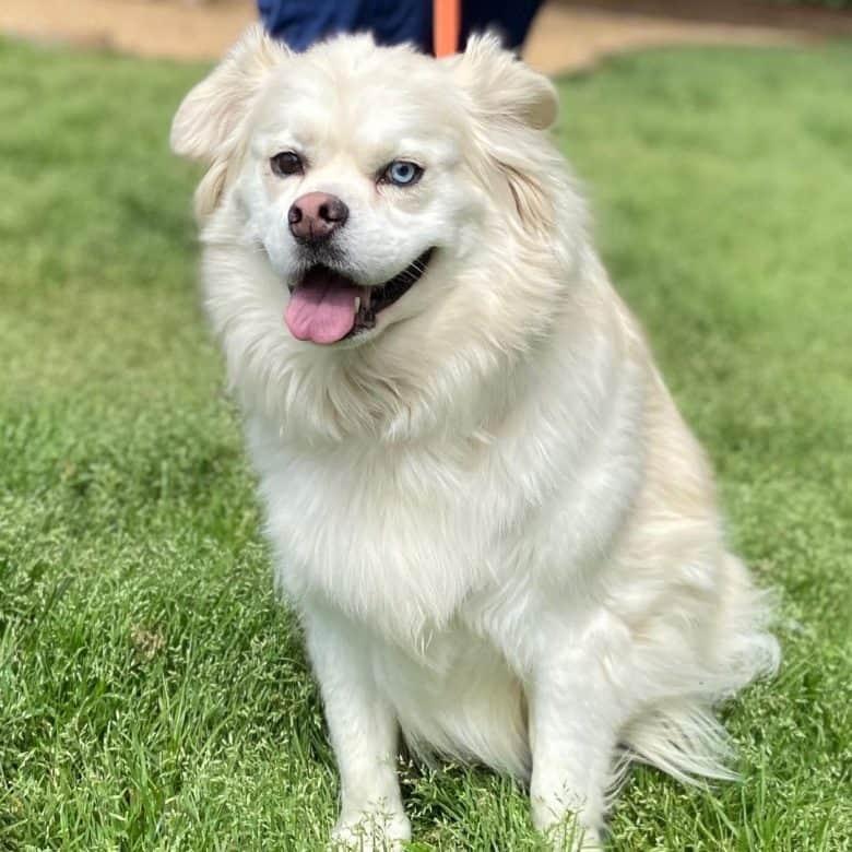 A white bi-eye Husky Pug mix dog sitting happily on the grass