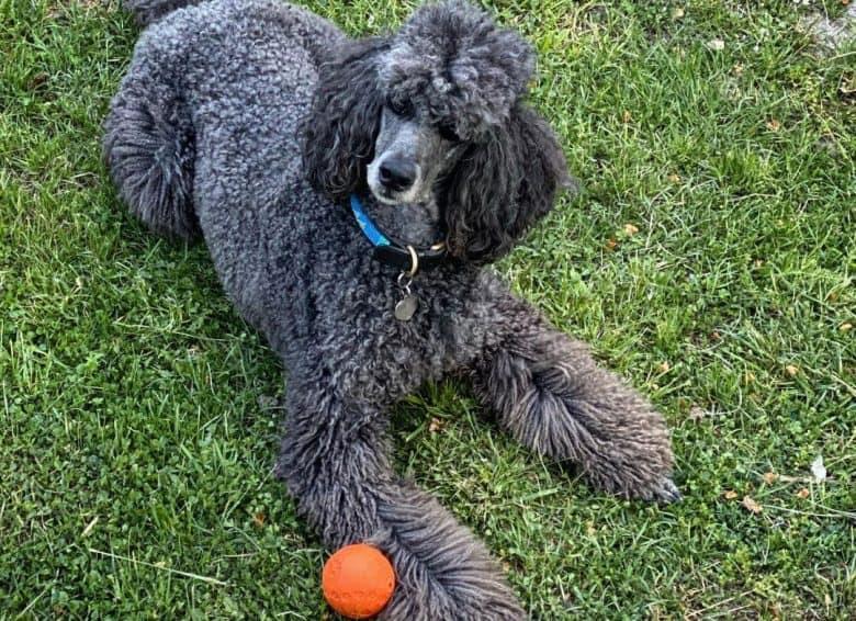 Big blue Poodle dog lying outside playing a ball