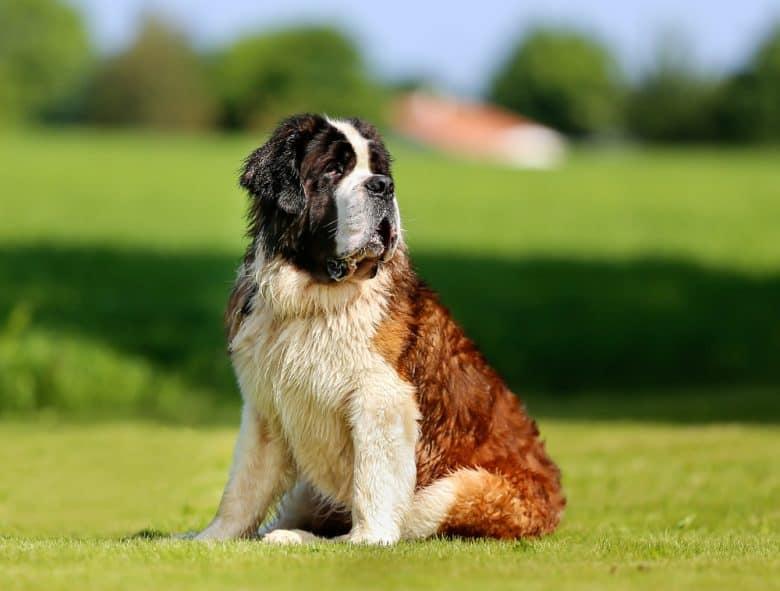 A big St. Bernard sitting on the grass