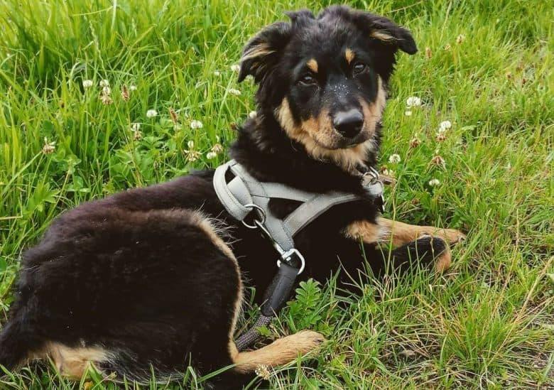 Black and tan Australian Shepherd dog lying on the grass