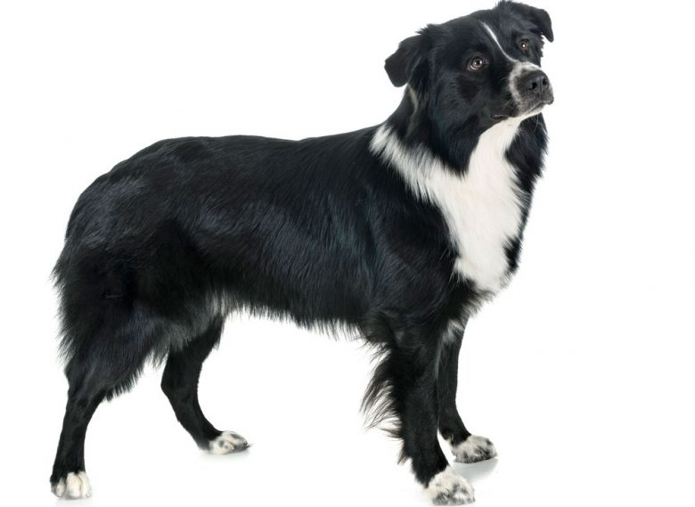Black and white Australian Shepherd dog portrait