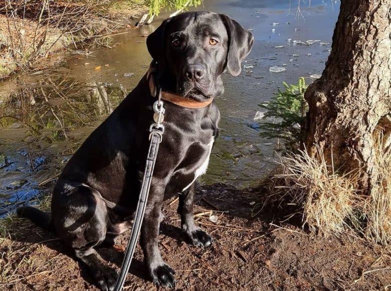 A shiny black Labradane sitting near a lake