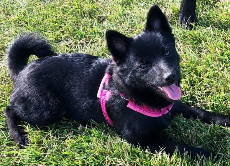 A happy Pomerke laying on grass