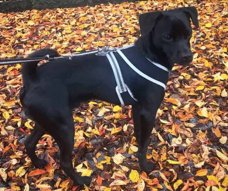 a solid black Grey Pughound standing in fall leaves