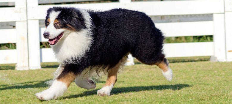 Black tri-colored Australian Shepherd dog walking on a field