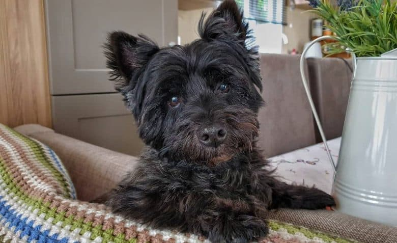 Black Westie and Yorkshire Terrier mix dog portrait