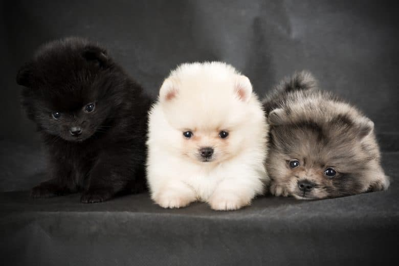 three Pomeranians of different colors laying down