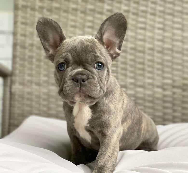 A Blue Brindle French Bulldog puppy with bat ears