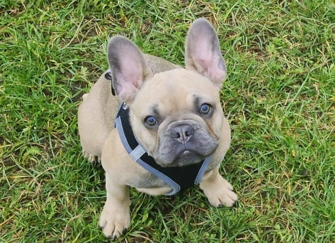 A Blue Fawn French bulldog on the grass