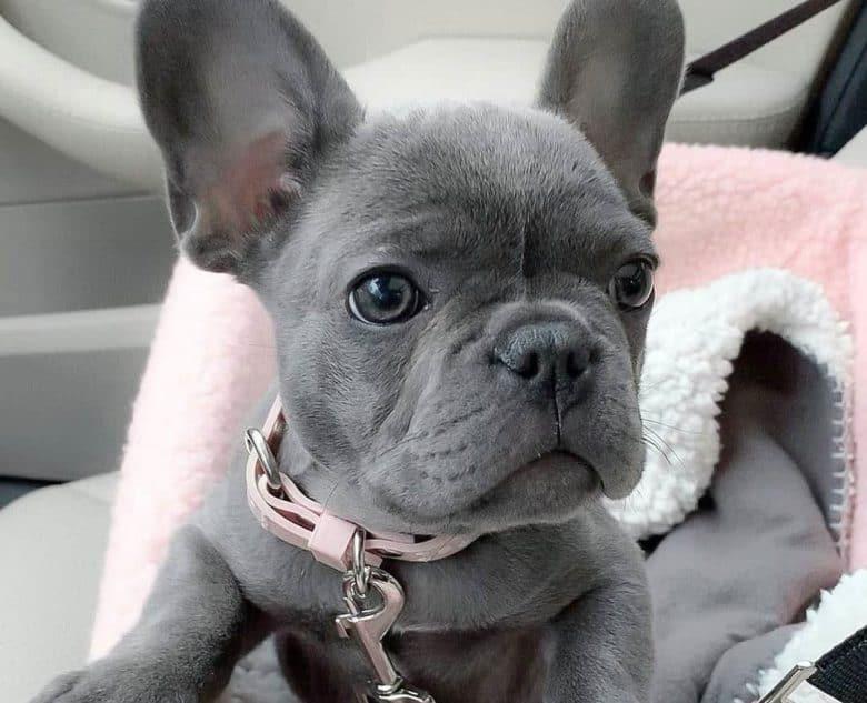 Blue French Bulldog portrait