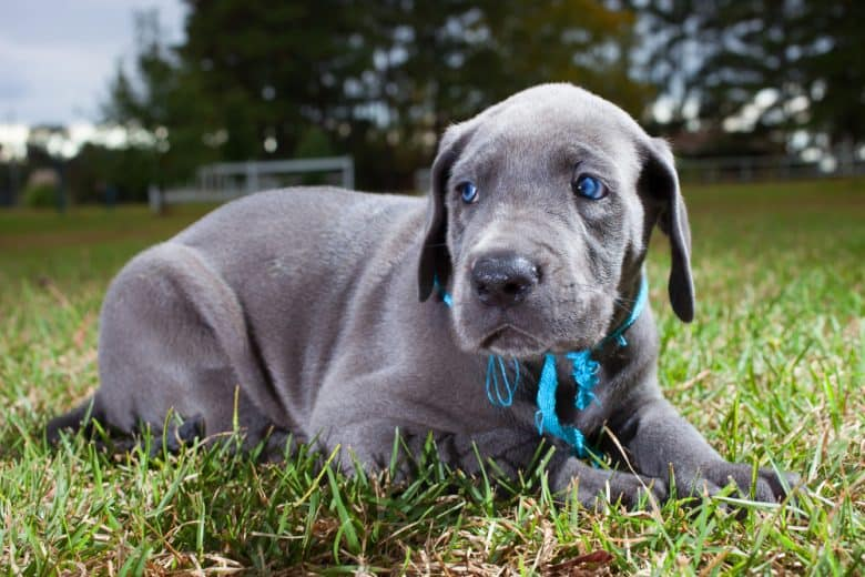 A blue eye Great Dane puppy laying on the grass