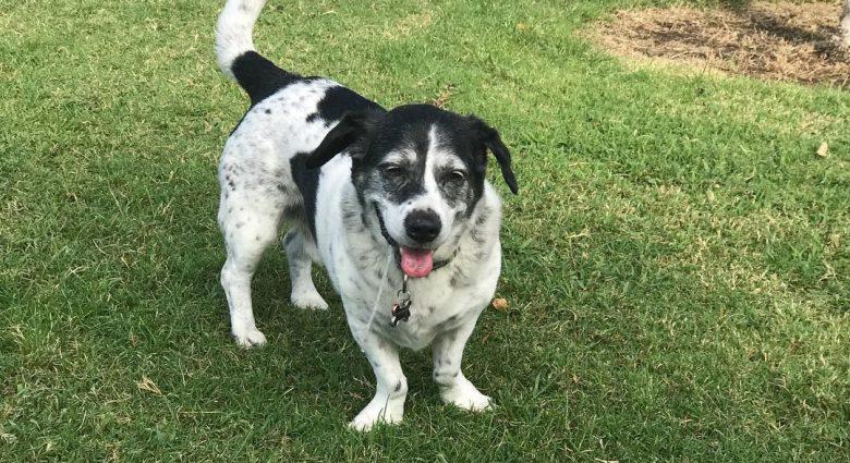 Blue Heeler Basset Hound mix dog standing on the grass