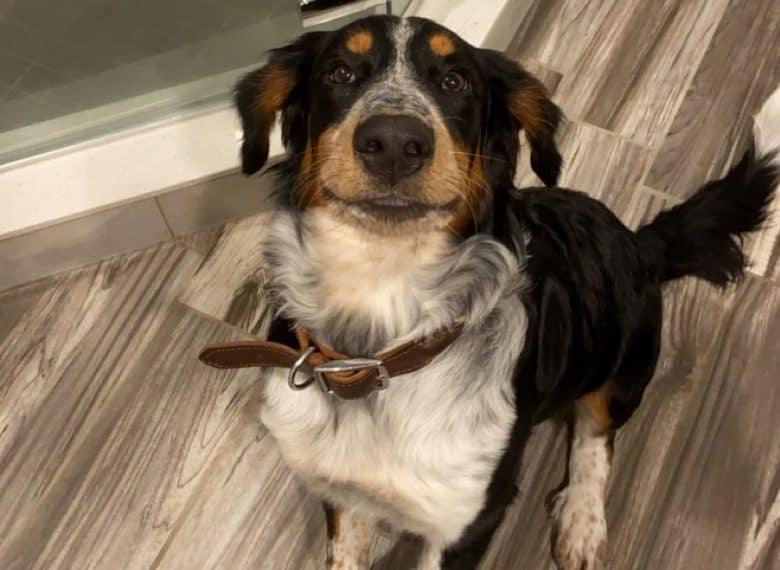 Blue Heeler Bernese Mountain mix dog waiting for treats
