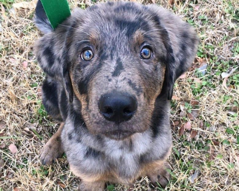 Blue Heeler Golden Retriever mix dog portrait