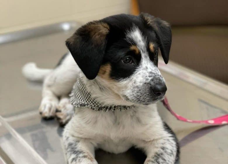 Blue Heeler Lab mix puppy