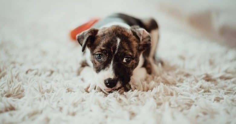A precious Blue Heeler Pitbull puppy on a cream rug