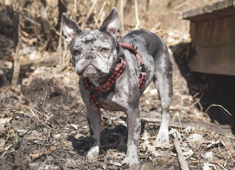 A Blue Merle French Bulldog with red checkered harness
