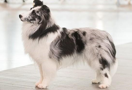 A standing Blue Merle Shetland Sheepdog