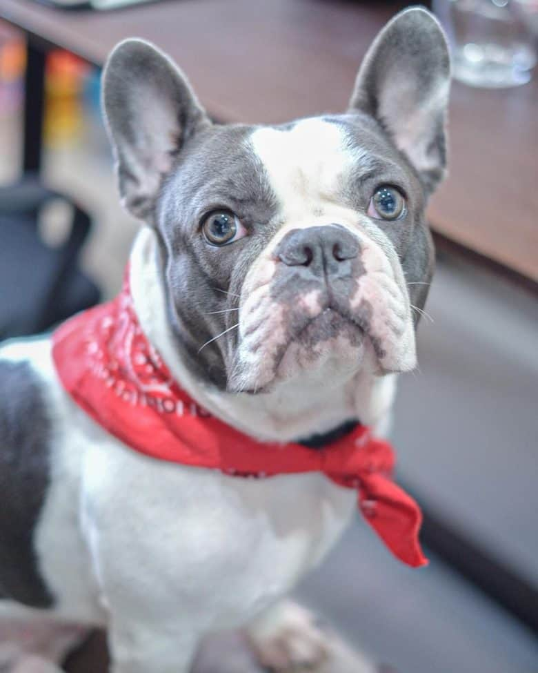 A Blue Pied Frenchie wearing a red scarf