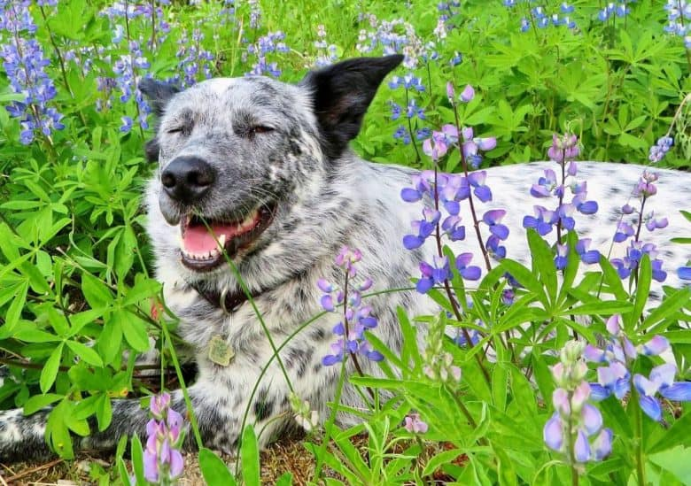Border Collie Blue Heeler mix dog relaxing in the middle of stunning wild flowers