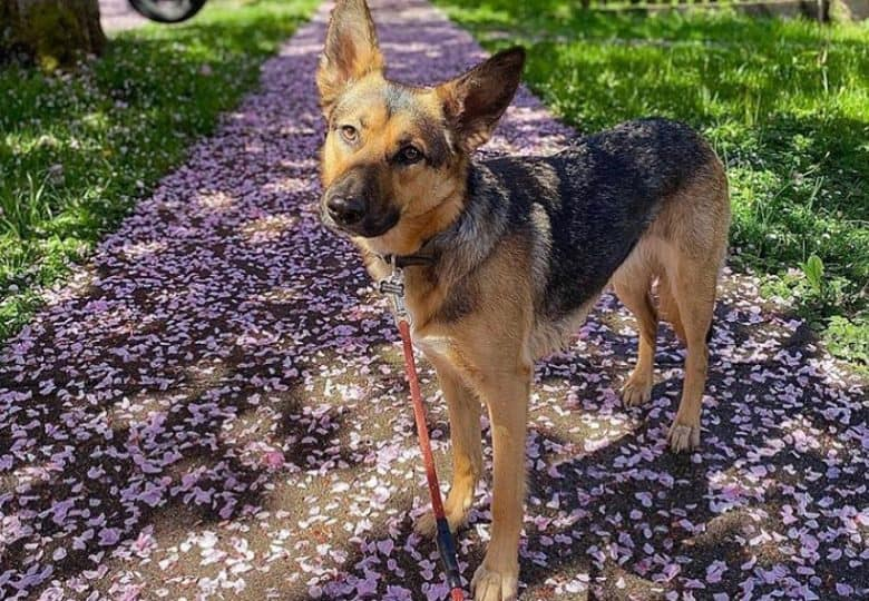 Border Collie German Shepherd mix dog posing in a walkway full of cherry blossom flowers