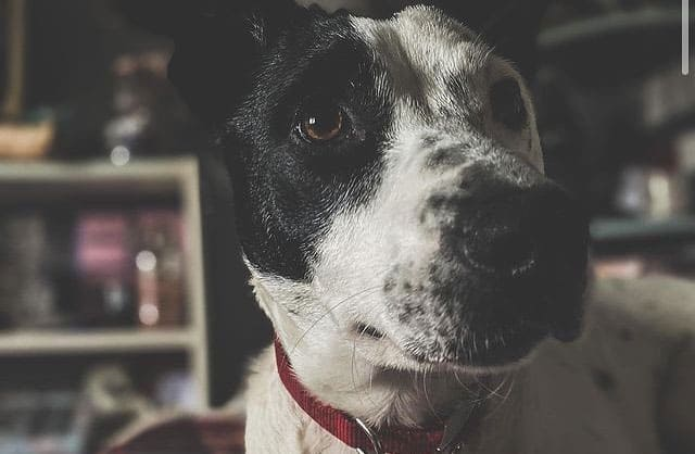 Border Collie, Staffordshire Bull Terrier and Jack Russell Terrier mix dog portrait