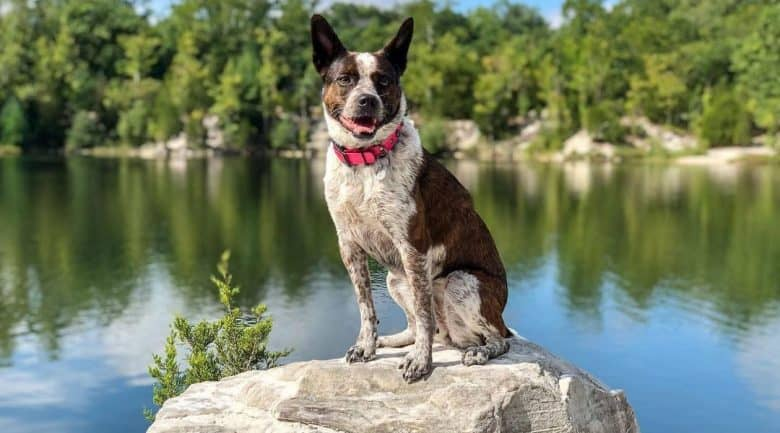 Boston Terrier Blue Heeler mix dog sitting on the rock near the lake