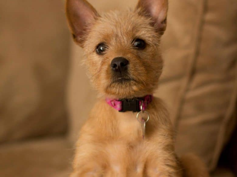Boxer and Yorkshire Terrier mix dog portrait