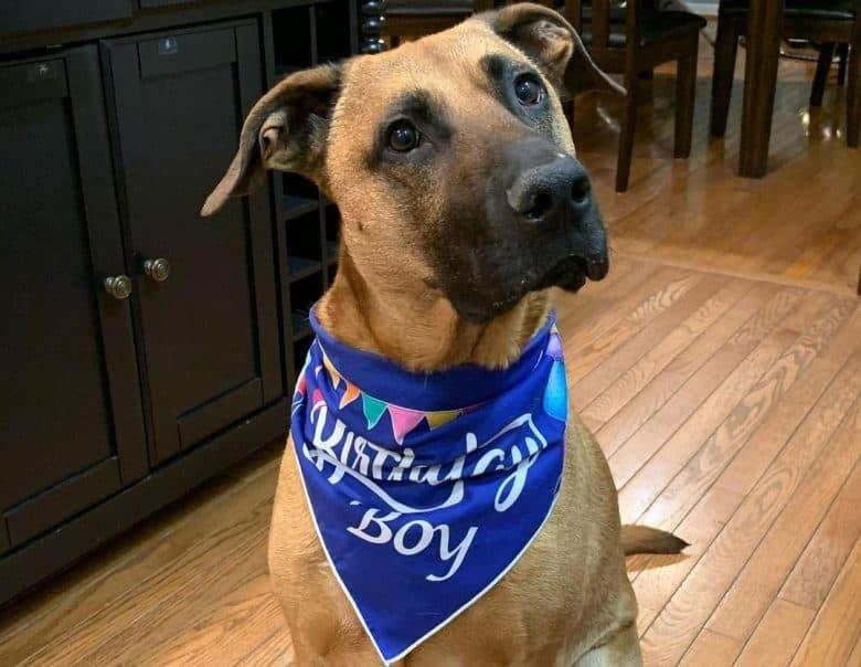 Boxer German Shepherd mix dog wearing a birthday scarf
