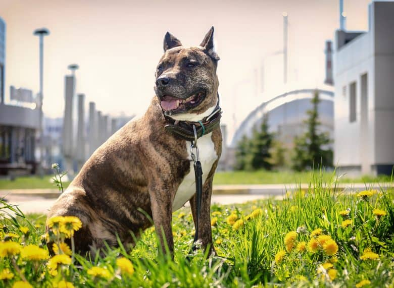 A Brindle Pittie sitting on a garden with yellow flowers