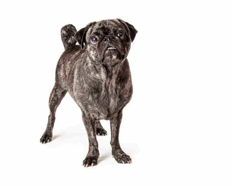 A standing brindle Pug looking up