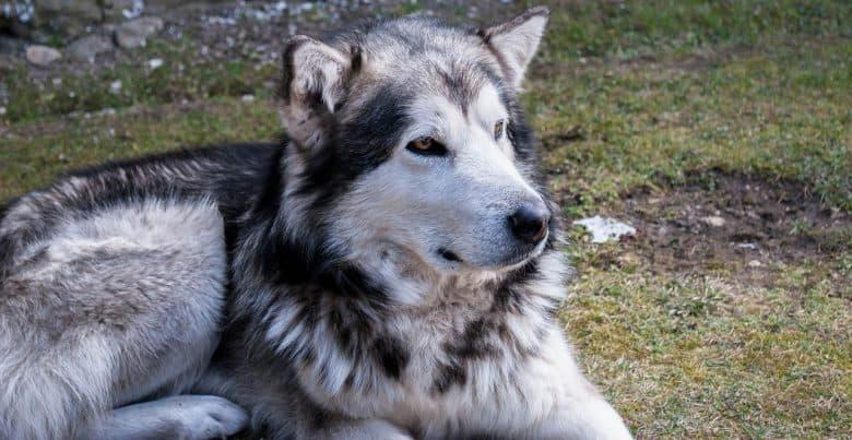 Brown eyed Alaskan Malamute dog