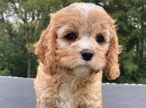 A cute Brown Cockapoo puppy standing outside