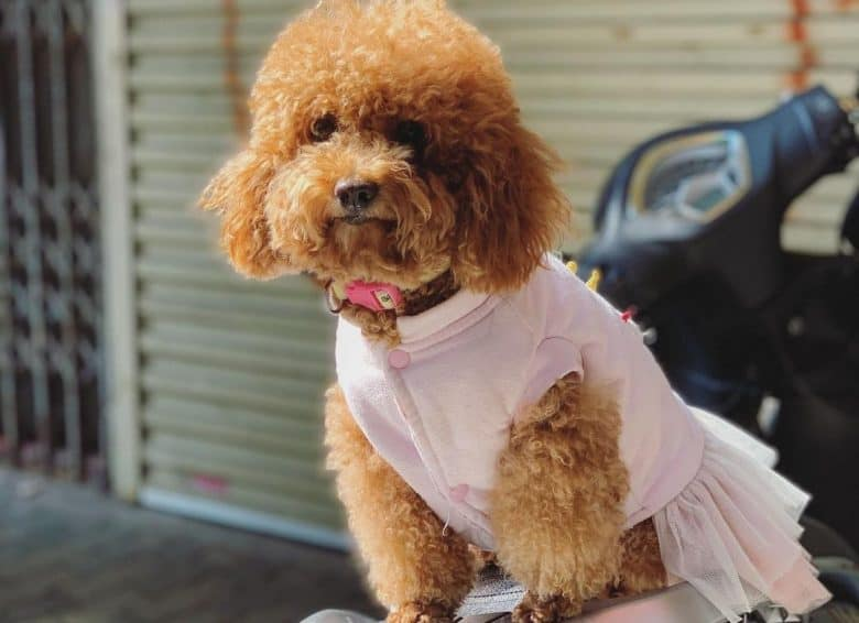 A fabulous Brown Poodle wearing a tutu sitting on a scooter