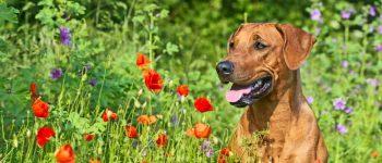 a Brown Rhodesian Ridgeback on a flower field