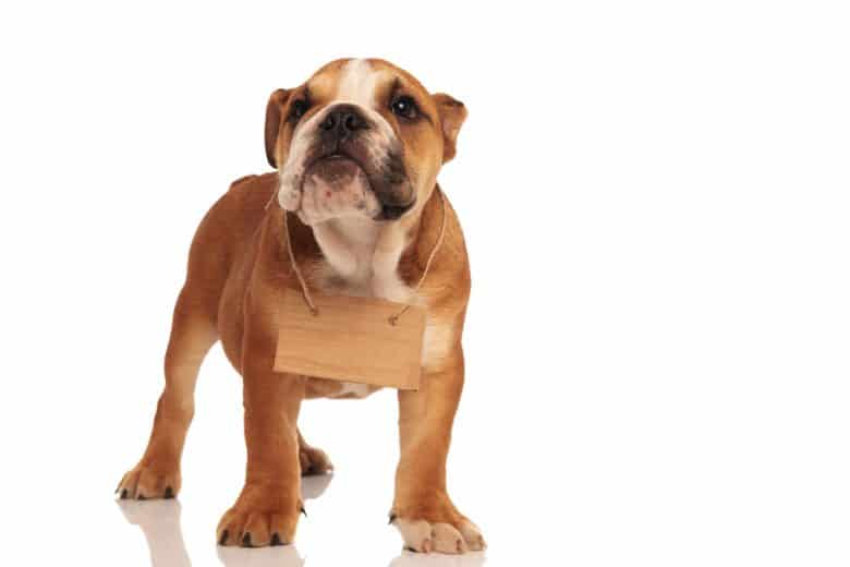 A Bully puppy wearing a wooden plate