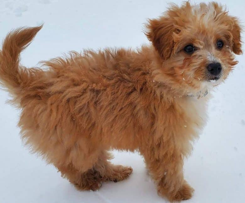 Cairn Terrier Poodle mix dog playing in the snow
